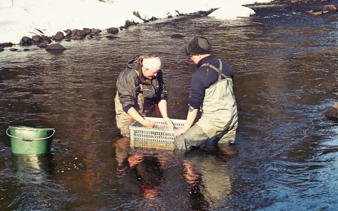 Om Stiftelsen Vindelälvsfiske